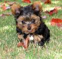 Yorkie Puppy Training