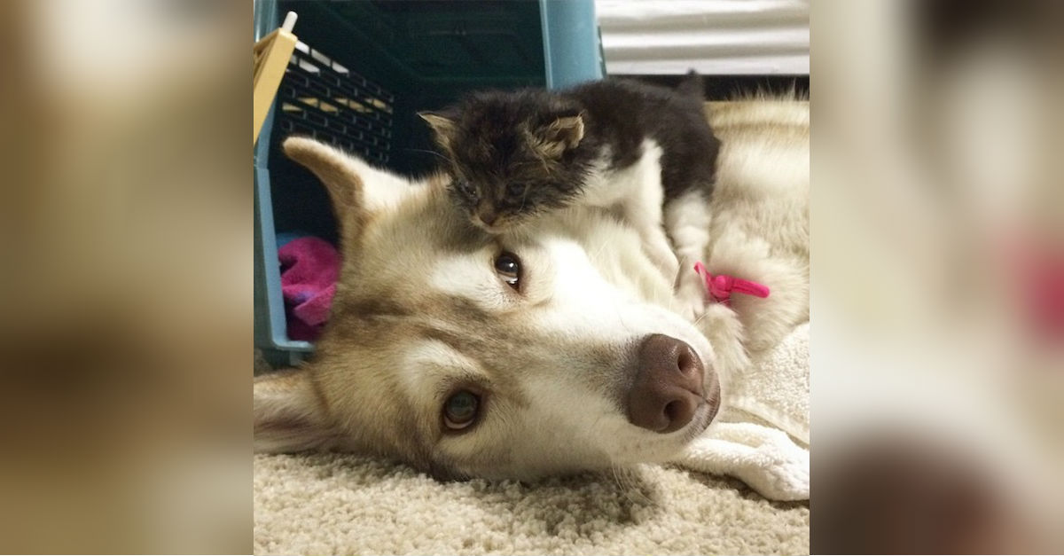 A Cat Raised By Huskies Now Returns The Favor To A Litter Of Orphaned Kittens